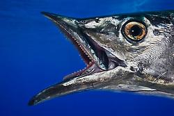 Wahoo, Pacific Kingfish or Ono in Hawaiian, Acanthocybium solandri, off Kona Coast, Big Island, Hawaii, Pacific Ocean.