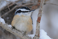 Red Breasted Nuthatch chilling out in the snow during the winter for this portrait.
