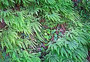 Design of Early Spring Swordferns in Redwood Forest, CA