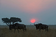 Wildebeest migrates while the tropical sun rizes over Maasai Mara, Kenya.
