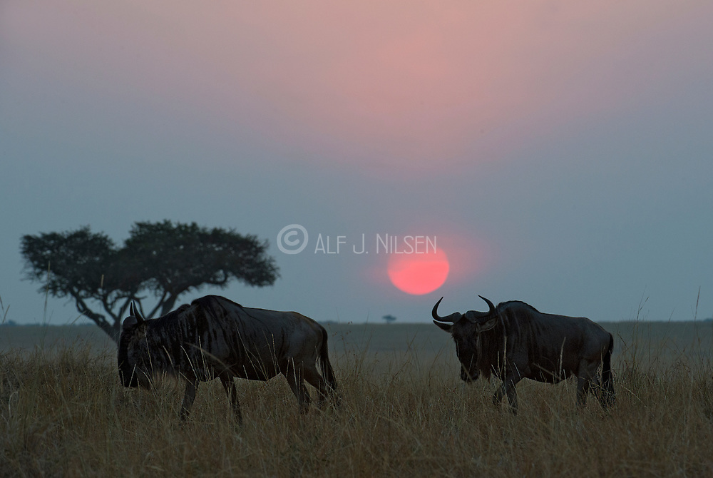 Wildebeest migrates while the tropical sun rizes over Maasai Mara, Kenya.
