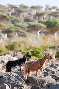 Goats in the Dragon Blood Tree Forest, Dixsam, Socotra, Yemen