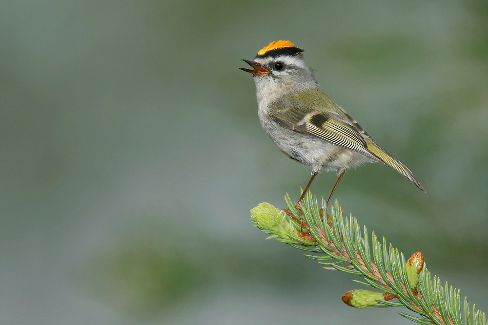 Golden-crowned Kinglet - Regulus satrapa - male