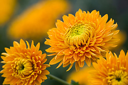Chrysanthemum 'Princess Armguard Bronze'