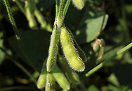 Soy beans are seen Sept. 19, 2018, before the upcoming harvest at Backacres Farms in Chesterfield, New Jersey. (Photo by Matt Smith)