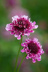 Scabiosa atropurpurea 'Beaujolais Bonnets'. Scabious