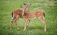 Middletown, New York -  Two youngwhite-tailed deer feed in a suburban neighborhood on July 20, 2010.  Deer can become a nuisance in suburban areas because they can damage landscaping, cause vehicle-deer collisions on roads and carry Lyme disease.