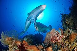 Bolbometopon muricatum, Zwei Bueffelkopf-Papageifische, Two Green humphead parrotfish, Bumphead parrotfish, drop off, <br />Bali, Tulamben, Indonesien, Indopazifik, Indonesia Asien, Indo-Pacific Ocean, Asia