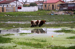 South Africa - Cape Town -  03-July- 2020 Cow grazing in  Makhaza Khayelitsha Photographer Ayanda Ndamane African news agency(ANA)