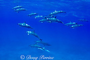 Hawaiian spinner dolphins or Gray's spinner dolphin or long-snouted spinner dolphin ( Stenella longirostris longirostris ) with albinistic ( white ) calf at bottom, Makalawena, Kona Coast, Big Island, Hawaii ( Central Pacific Ocean )