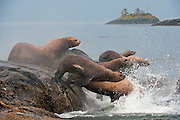 Steller Sea Lions, Eumetopias jubatus, an endangered species, congregate on a rocky island north of Vancouver Island, British Columbia, Canada. Image available as a premium quality aluminum print ready to hang.