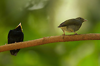 Golden-headed Manakin (Pipra erythrocephala)<br />