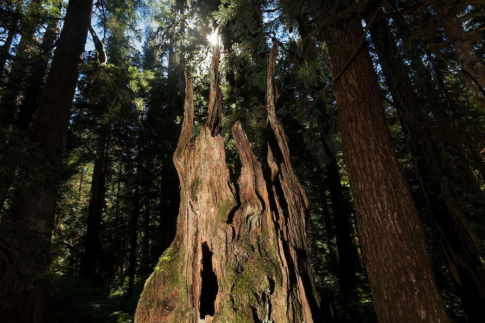 An old hollow tree stump along Nooksack Cirque Trail, Mount Baker Wilderness, Washington.