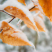 Ice and snow on beech leaves in winter. Jefferson, Maine