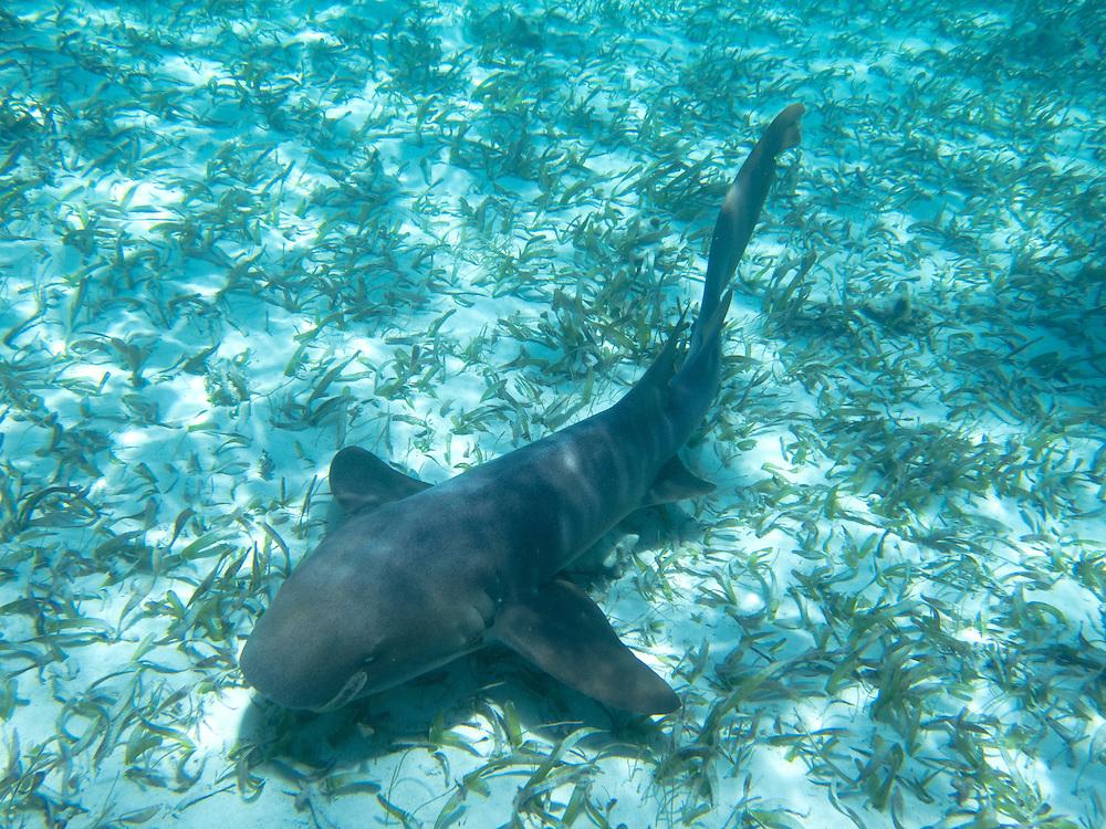 Hol Chan, Belize 8/31/2012.Nurse Shark at Shark Ray Alley..Alex Jones / www.alexjonesphoto.com