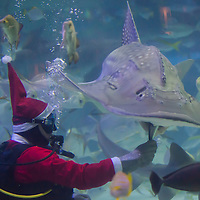 Scuba divers feed sharks and other sea fishes in Santa Claus costume as part of their christmas celebration in Budapest, Hungary on December 06, 2012. ATTILA VOLGYI