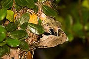 Female Palestine Sunbird or Northern Orange-tufted Sunbird (Cinnyris oseus) feeding young hatchlings in a nest Israel, Spring April