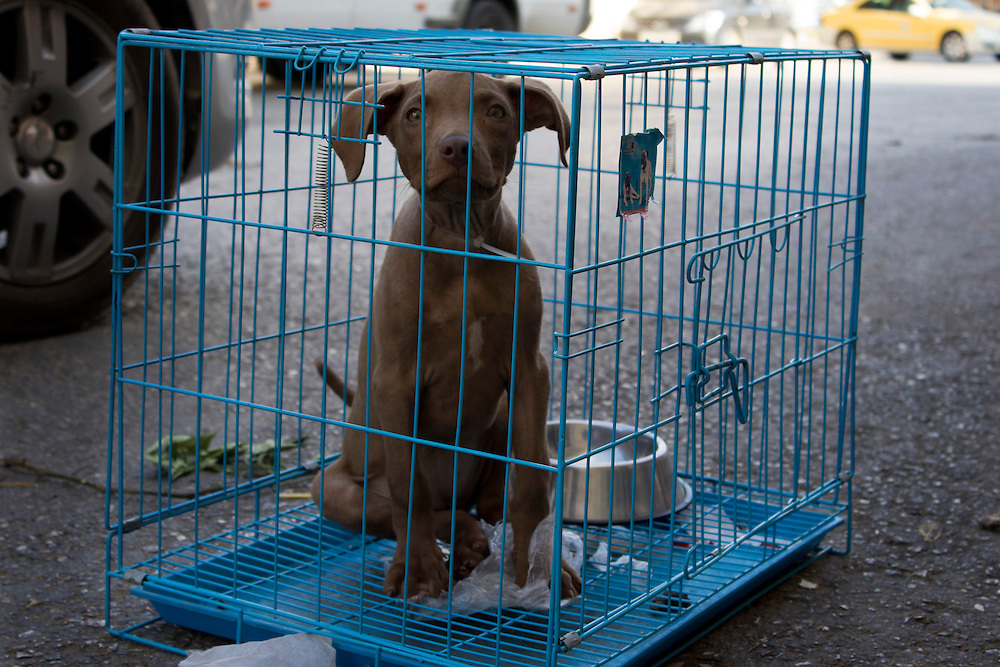 A pit bull puppy, caged and for sale at a pet shop in Bir Zeit, Palestine