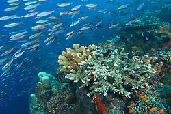 A dense school of Bluestreak Fusiliers, Pterocaesio tile, streams past a healthy hard coral reef, on the edge of a vertical wall. Barren Island, Andaman Islands, Andaman Sea; India