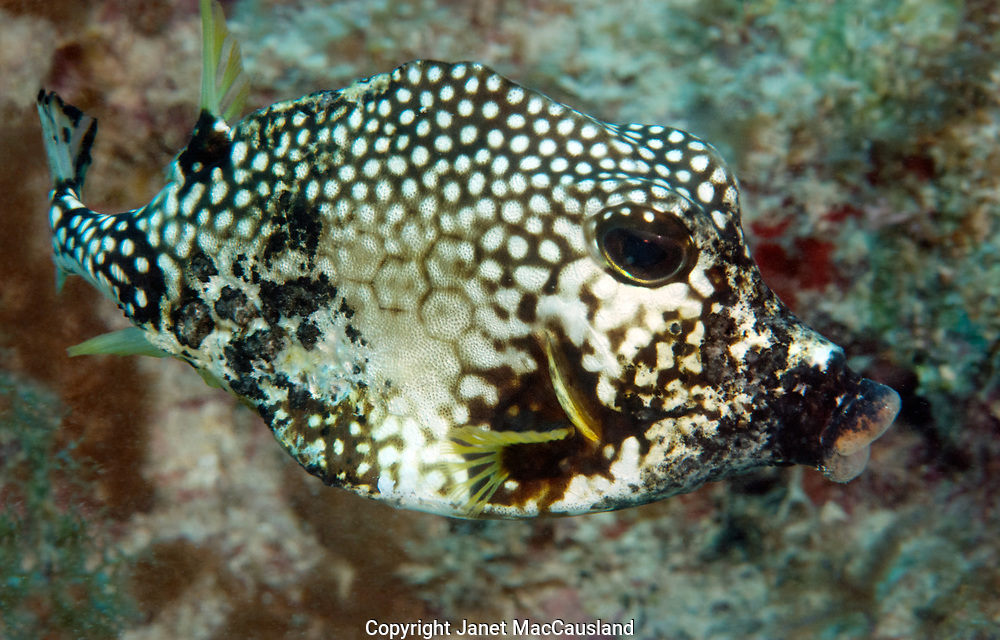 """A Trunkfish scurries by in the Florida Keys. The Spotted Trunkfish (Lactophrys bicaudalis), of the family Ostraciidae, is a small reef fish of up to 20"""" found in the Caribbean and Florida. Its angular body has given the alternate name of box-fish, and the """"horns"""" have yielded the name  cow-fish in some areas of its range."""