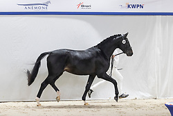 565, Nielson<br /> KWPN Hengstenkeuring 2021<br /> © Hippo Foto - Dirk Caremans<br />  05/02/2021