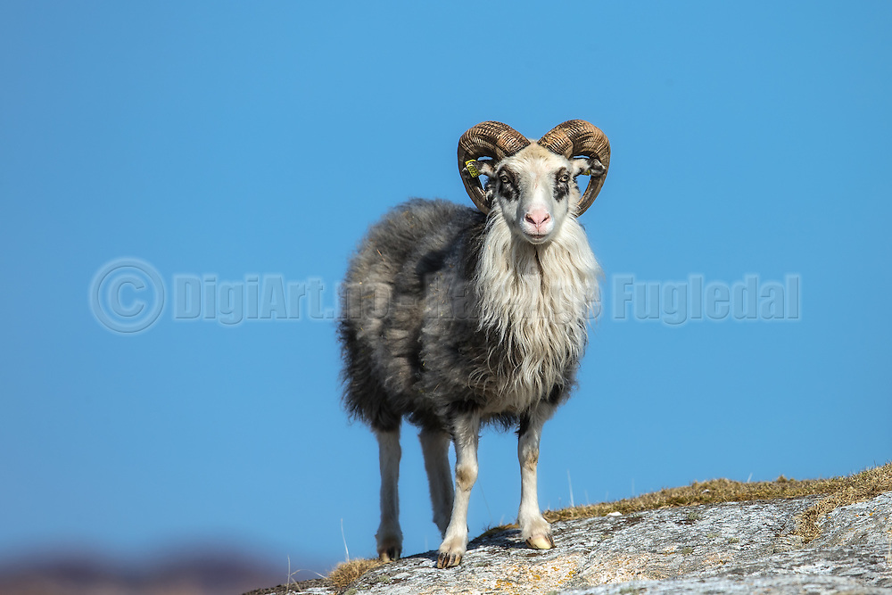 Sheep on a rock   En sau på et berg.