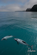 Hector's dolphins, Cephalorhynchus hectori, Endangered Species, endemic to New Zealand, Akaroa, Banks Peninsula, South Island, New Zealand ( South Pacific Ocean )