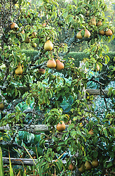 Pyrus communis 'Doyenné du Comice' AGM. Pears in the high garden at Great Dixter