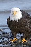 Bald Eagle, Haliaeetus leucocephalus, standing on rock beach, Kenai Peninsula, Homer Spit, Homer, Alaska. Digital original, #2006_0342 ©Robin Brandt