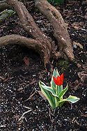 Variegated Tulip growing in the Quarry Gardens in Queen Elizabeth Park, Vancouver, British Columbia, Canada