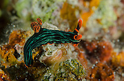 Kubaryana's Nembrotha (Nembrotha kubaryana)<br /> Cenderawasih Bay<br /> West Papua<br /> Indonesia