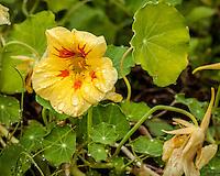 Nasturtium flowers grow in a garden.
