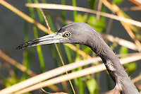 Little blue heron (Egretta caerulea) close-up in the Florida Everglades.
