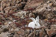 Arctic hare among boulders, Sydkap, E Greenland