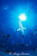 blacktip shark, Carcharhinus limbatus, and divers, Walker's Cay, Abaco Islands, Bahamas ( Western Atlantic )