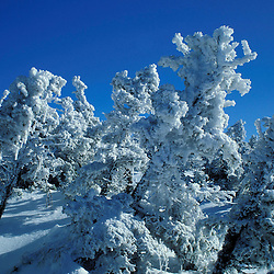 Rime ice coats the spruce with Mt. Washington in the distance. Presidential Range. White Mountains.  Mt. Clinton, NH