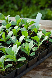 Tray of potted on Cerinthe major 'Purpurascens' young seedlings