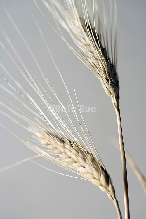 close up of two wheat heads
