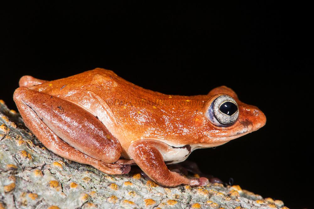 Tree frog<br /> Lango Bai<br /> Republic of Congo (Congo - Brazzaville)<br /> AFRICA