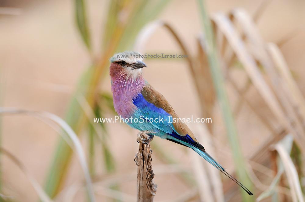 Kenya, Samburu National Reserve, Lilac-breasted Roller, Coracias caudatus, perched on a branch
