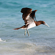 Brown booby (Sula leucogaster) taking off from the ocean