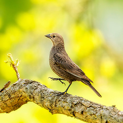 A Female Brown-Headed Cowbird On A Sunny Tree Limb, Dancing The Day Away