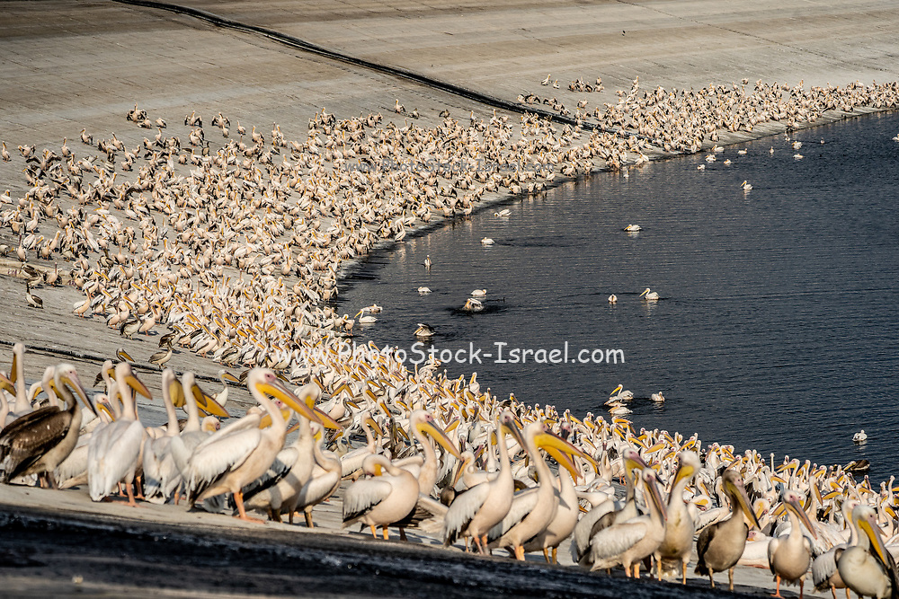 Large flock of  great white pelican (Pelecanus onocrotalus) also known as the eastern white pelican, rosy pelican or white pelican is a bird in the pelican family. It breeds from southeastern Europe through Asia and Africa, in swamps and shallow lakes. Photographed at the Wiker bird watching and observation point at Mishmar Hasharon water reservoir, Emek Hefer, Israel in November