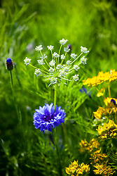 Ammi majus - Bishop's flower, with Centaurea cyanus - cornflower and Bupleurum rotundifolium in the meadow.