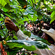 Lázaro López's first harvest since he bought his cocoa plantation with the money sent by his children who live in the United States.  Buena Vista community, Mexico