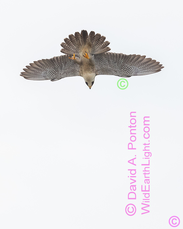 Peregrine falcon makes an unusual wings out, tail splayed, feet down dive, © David A. Ponton