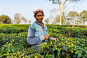 Woman picking tea from tea plants on a tea plantation, Assam, India