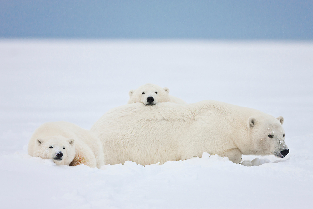 A female polar bear and her two cubs lay together in the snow, on the Beaufort Sea coastline in ANWR, Northern Alaska.