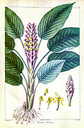 Curcuma roscoeana (also known as jewel of Burma, orange ginger, orange hidden ginger, pride of Burma or Burmese hidden lily) is a plant of the Zingiberaceae or ginger family. from a Journal Article by Nathaniel Wallich in 1830