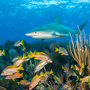 Caribbean reef shark (Carcharhinus perezi) patrolling a coral reef filled with schoolmaster snapper (Lutjanus apodus) and other fish. Jardines de la Reina, Gardens of the Queen National Park, Cuba